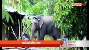 ช้างป่าลงกินพพืชไร่ชาวบ้าน