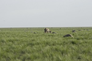 Handout photo of Saiga antelope with baby grazing next to carcasses of dead antelopes lying on field in Zholoba area of Kostanay region